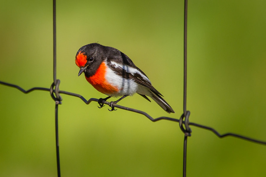 Red Capped Robin, by Paul Amyes on 500px.com