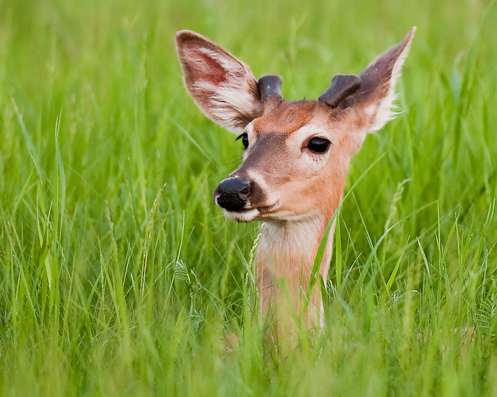 Photograph Young Whitetail Buck by Michael Higgins on 500px