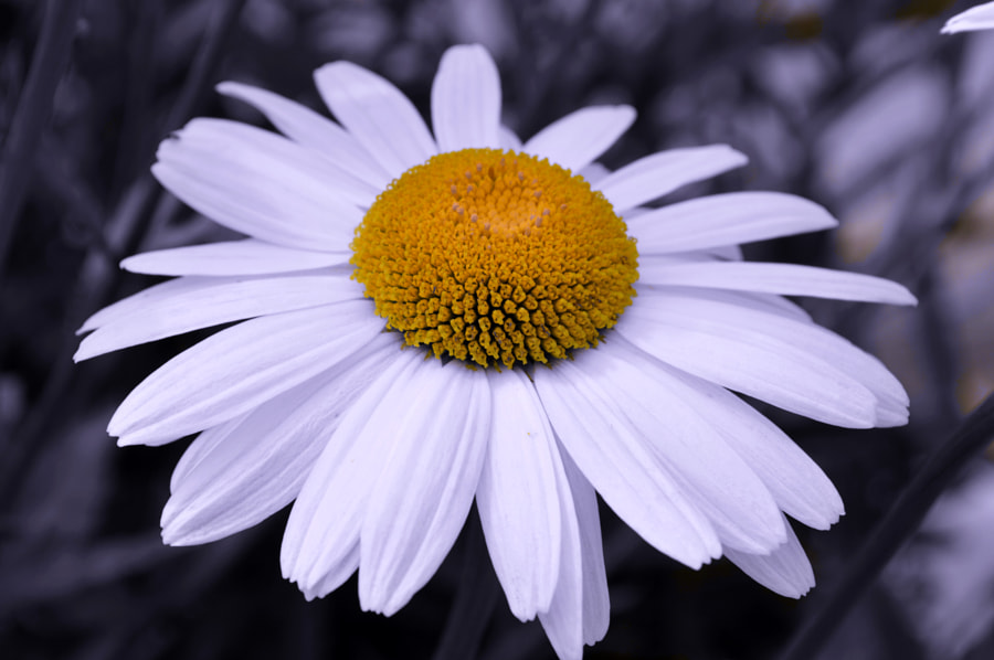 Photograph Huge Daisy Close-up by Papanikolaou Joanna on 500px