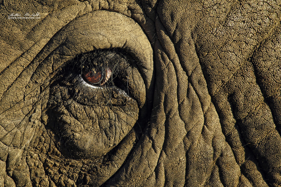 elephant by Milko Marchetti on 500px.com