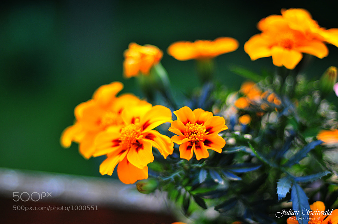 Photograph Orange Flower by Julian Schwald on 500px