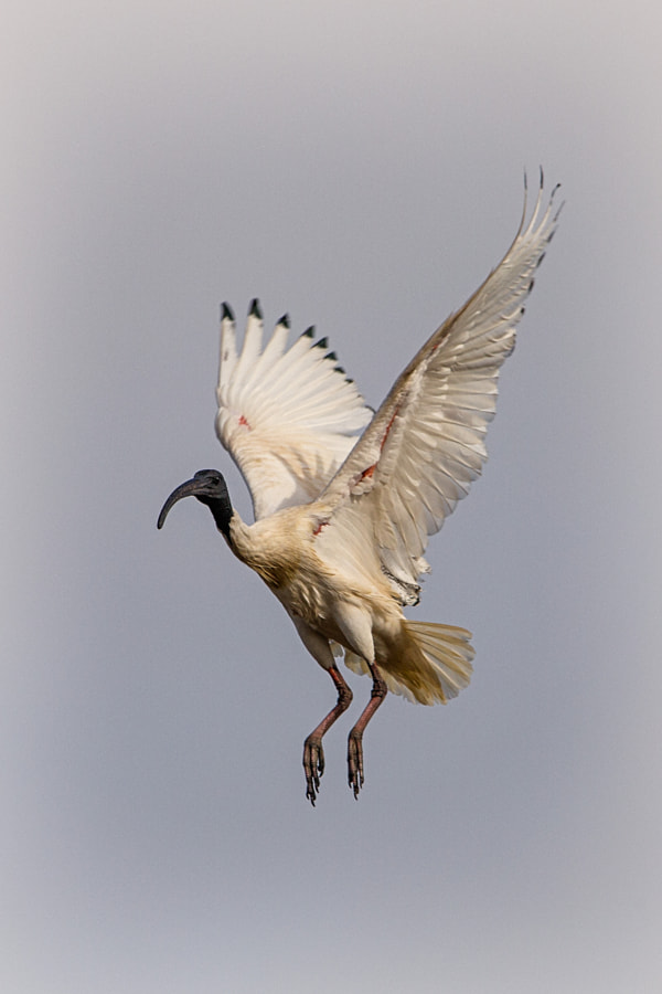 Australian White Ibis, by Paul Amyes on 500px.com