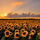 A beautiful field of sunflowers at sunset.