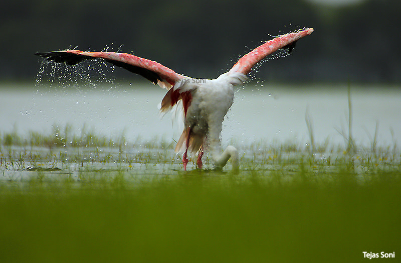 """Photograph """"Rise of the flamingo"""" by Tejas Soni on 500px"""