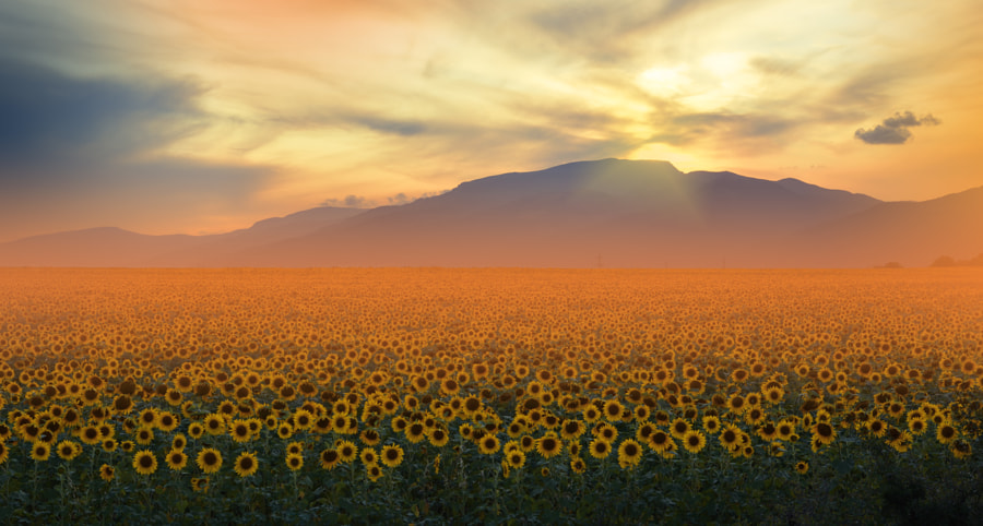 Sunflower Field at Sunset.. by Juliana Nan on 500px.com