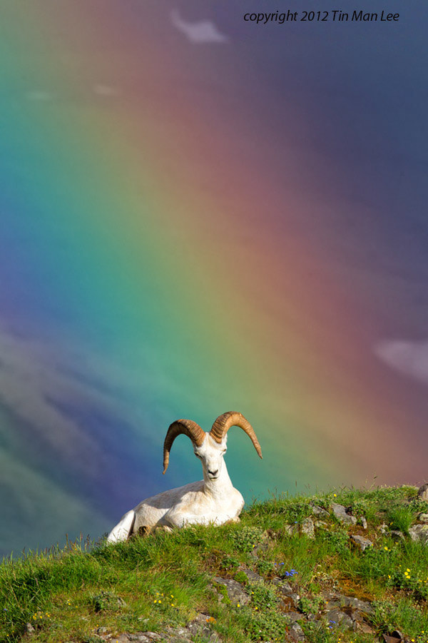 Photograph Dall Sheep in Rainbow by Tin Man on 500px