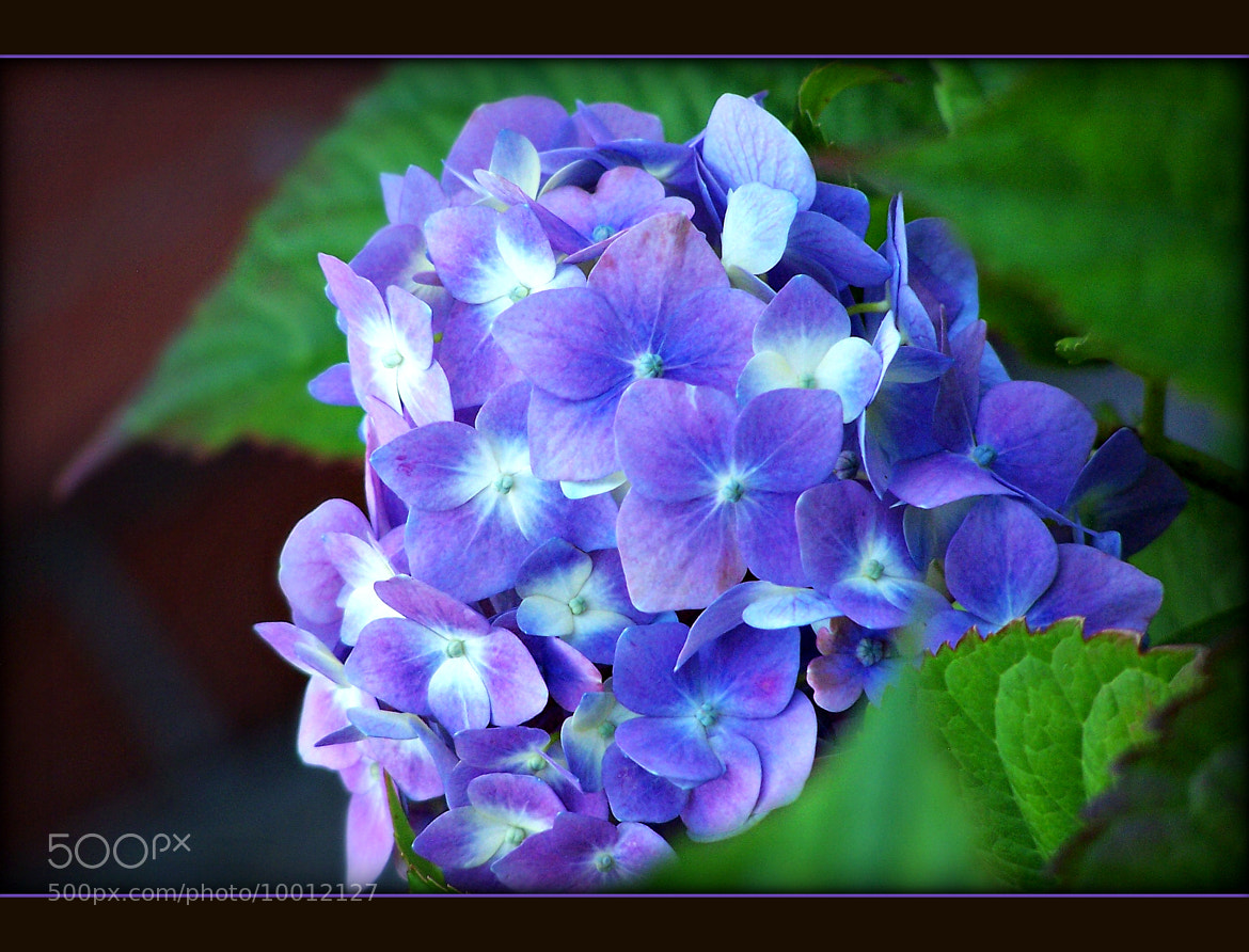 Photograph hydrangea in blue by lucky hidden Dragon on 500px