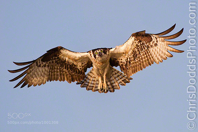 Photograph Osprey Flight by Christopher Dodds on 500px
