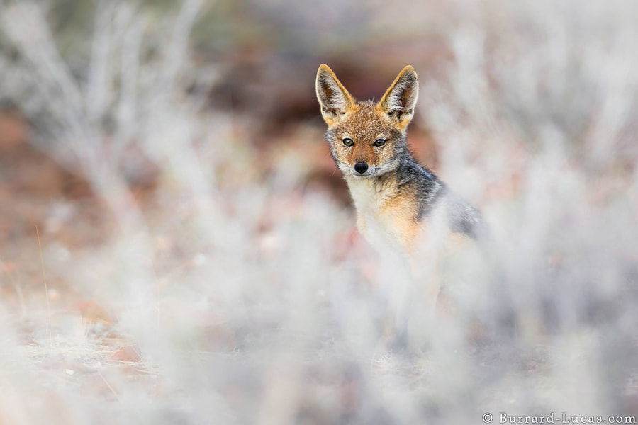 Photograph Black-backed Jackal by Will Burrard-Lucas on 500px