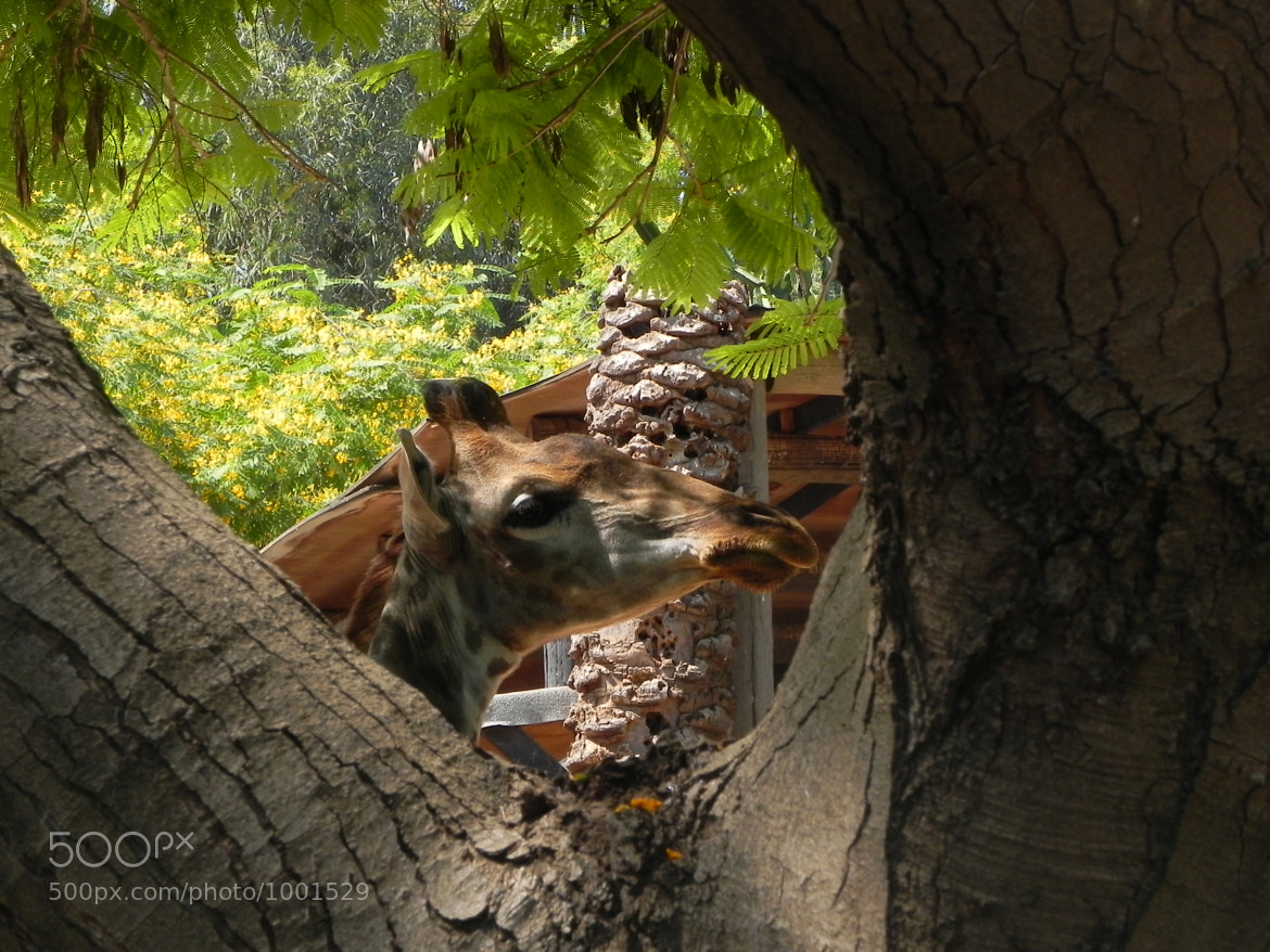 Photograph Giraffe behind a tree by Liora Levin on 500px
