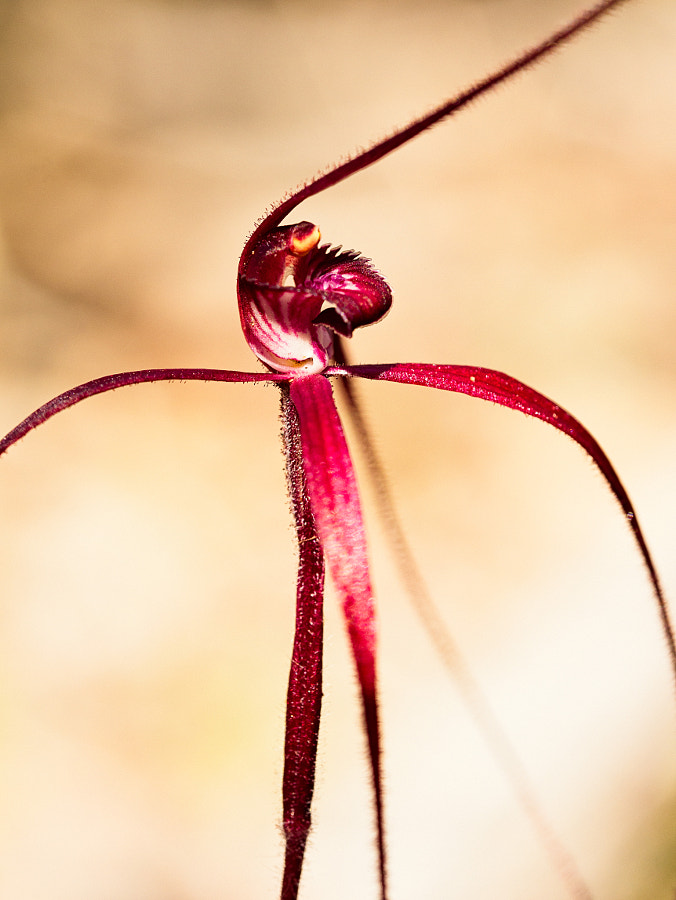 Blood Spider Orchid by Paul Amyes on 500px.com