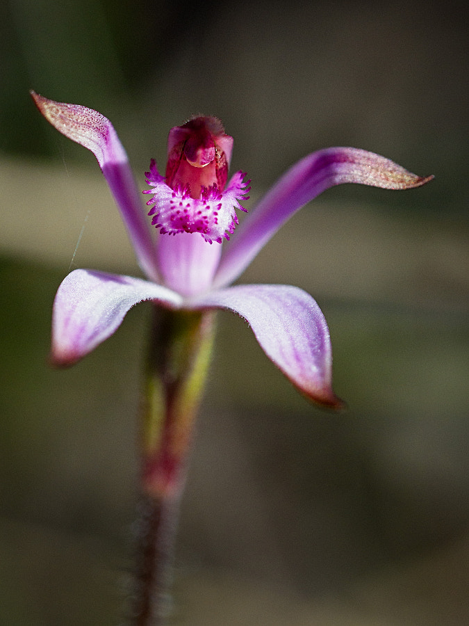 Pink Candy Orchid by Paul Amyes on 500px.com