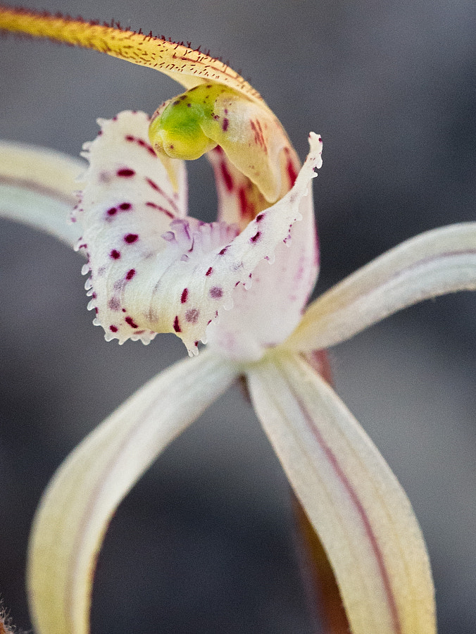 Yellow Spider Orchid by Paul Amyes on 500px.com