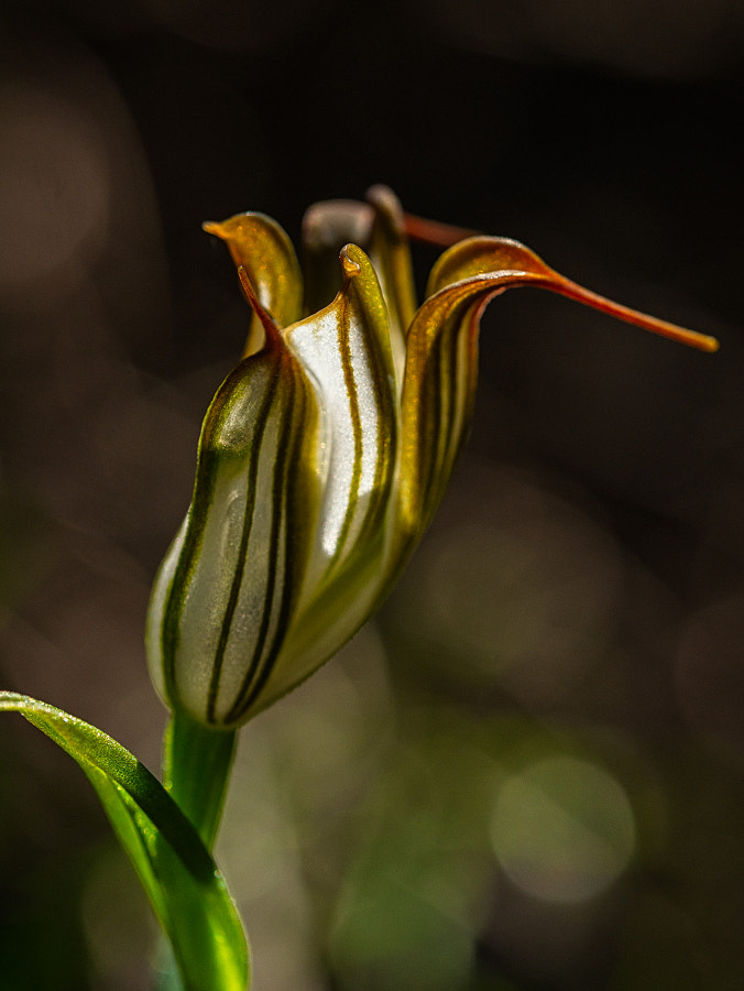 Recurved Shell Orchid by Paul Amyes on 500px.com