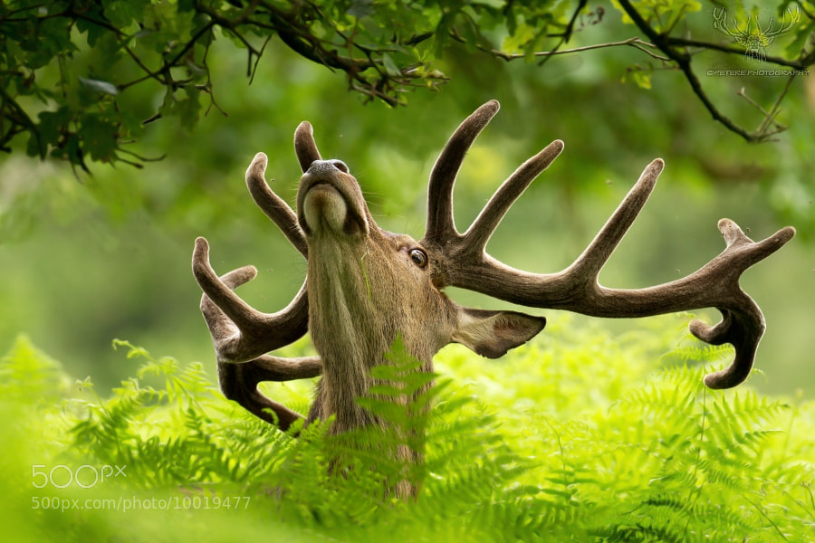 Photograph red deer by Peter Kralik on 500px