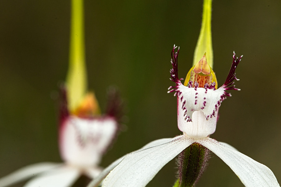 White Spider Orchids by Paul Amyes on 500px.com