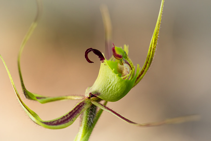 Green Spider Orchid by Paul Amyes on 500px.com