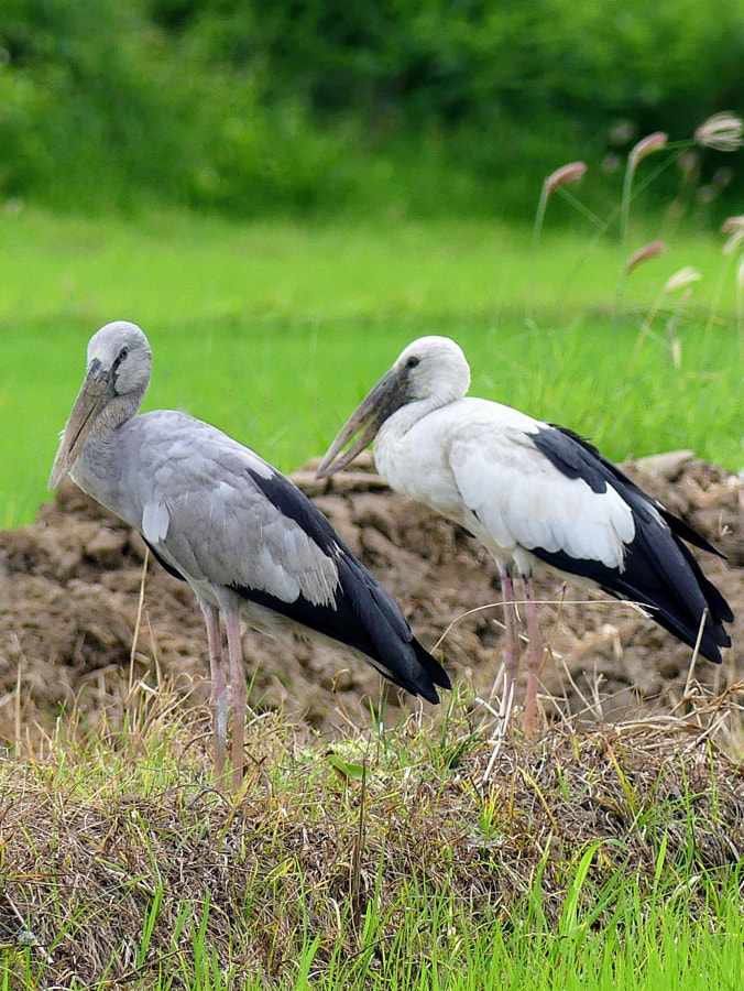 Asian storks by Yves LE LAYO on 500px.com