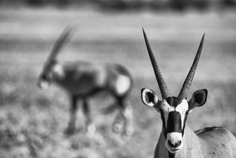 Oryx pair by Duncan Phillips on 500px.com