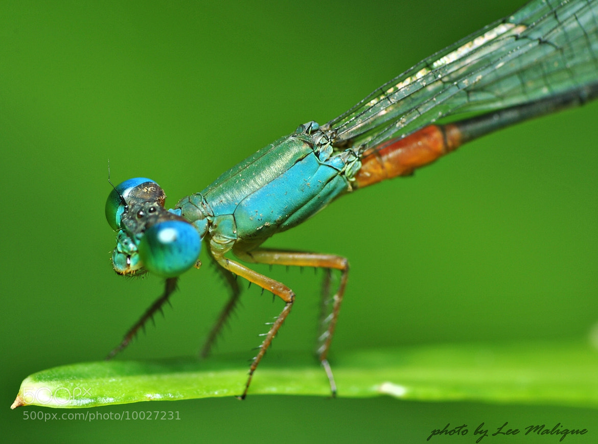 Photograph damselfly by Mohd Azli Abdul Malek on 500px