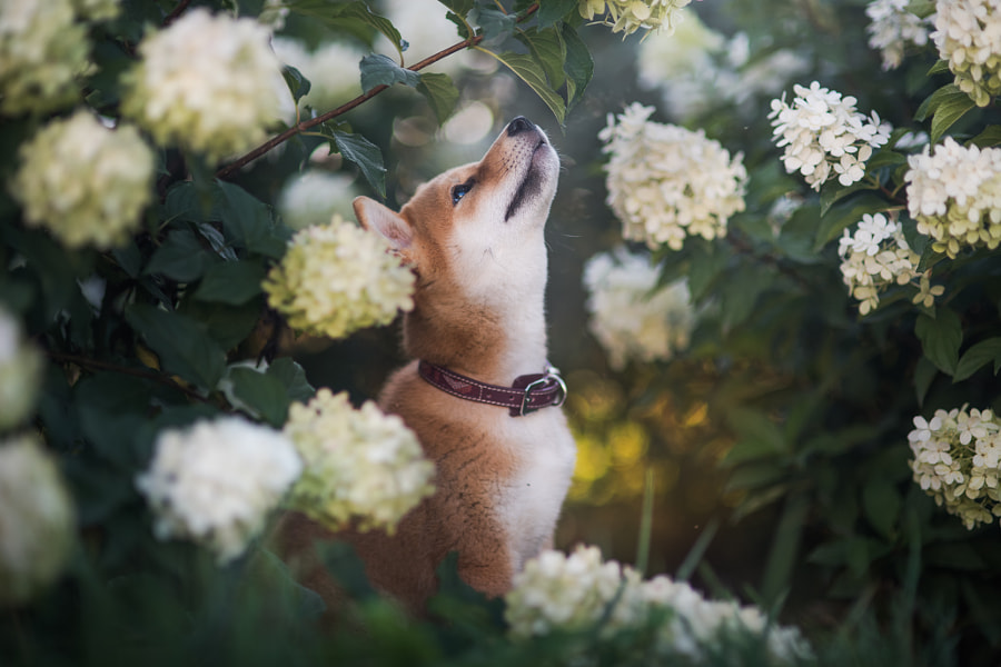 Little shiba inu by Iza Łysoń on 500px.com