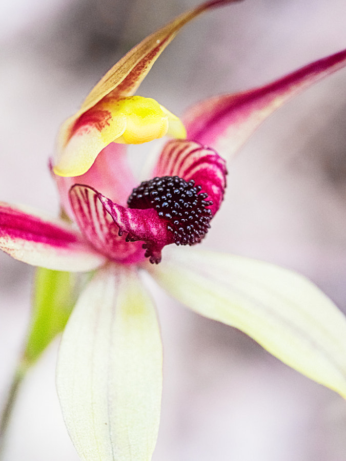 Leaping Spider Orchid by Paul Amyes on 500px.com