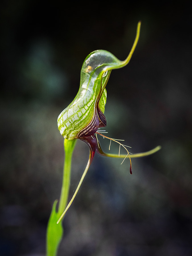 Bird Orchid by Paul Amyes on 500px.com