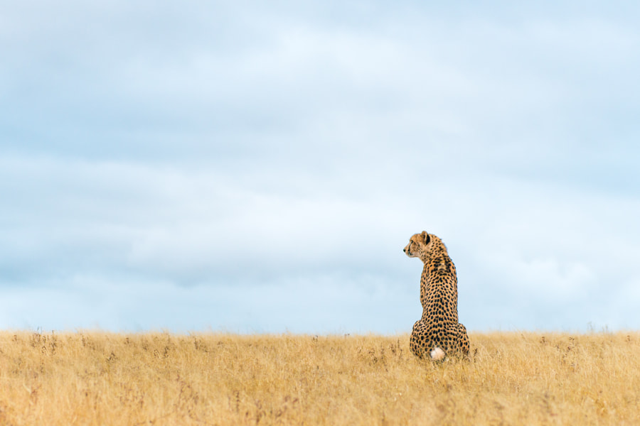 Cheetah sentinel by Jonas Stenqvist on 500px.com