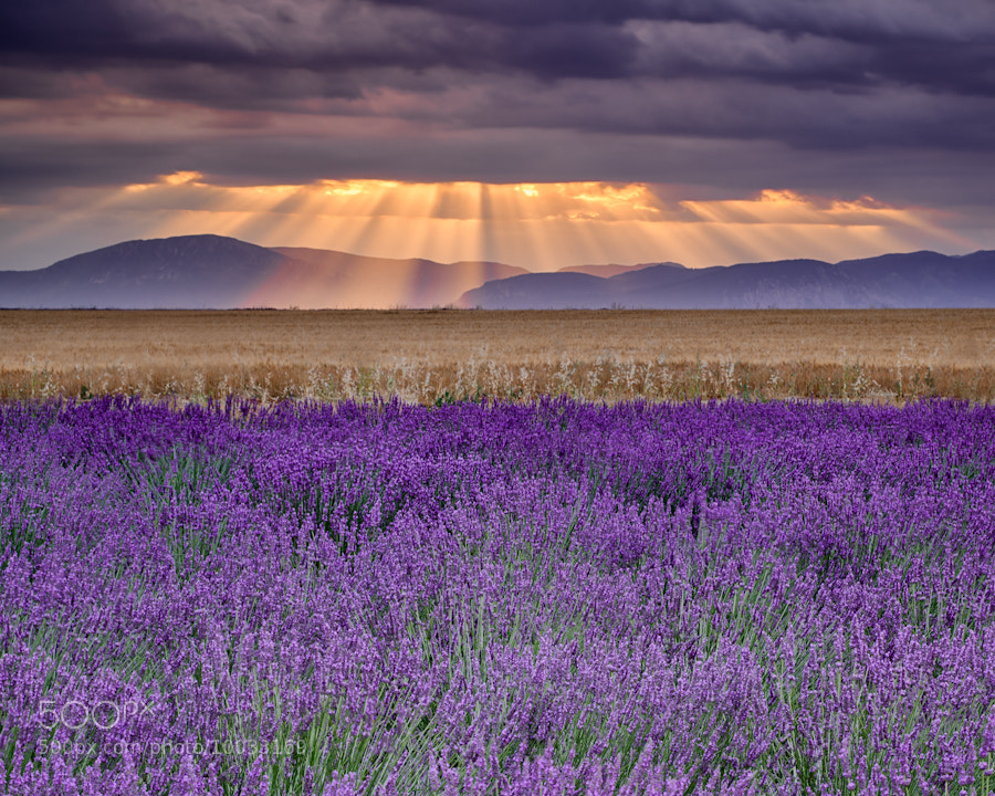Photograph Sunbeams over Lavender by Michael Blanchette on 500px
