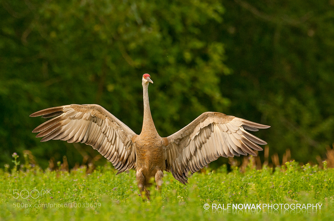 Photograph Sandhill Crane by Ralf Nowak on 500px