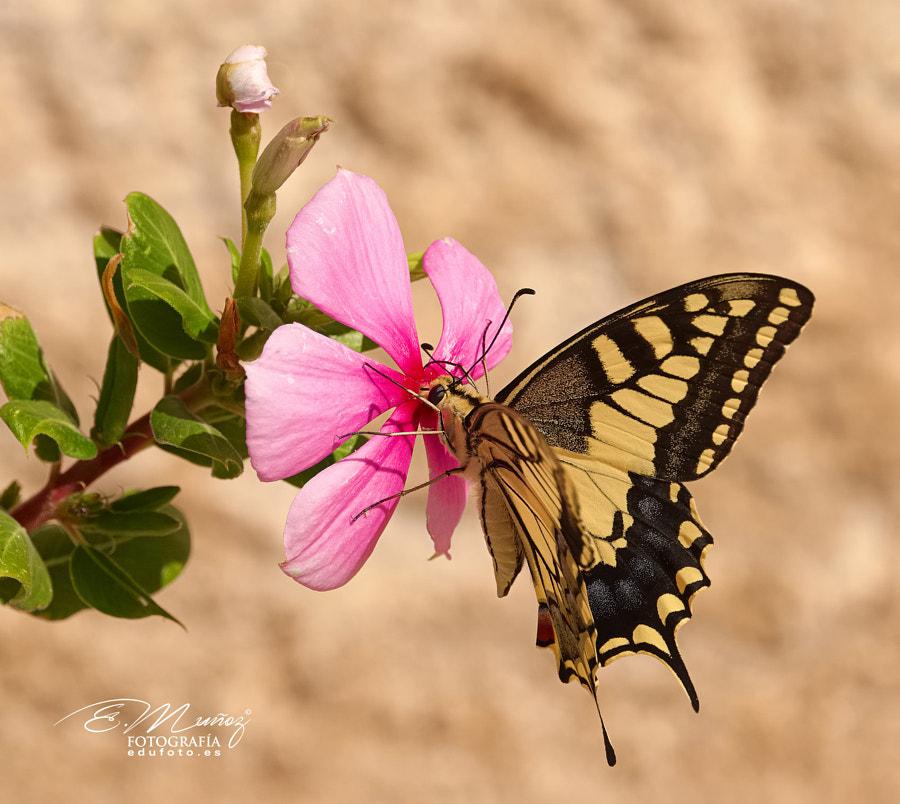 Papilio machaon butterfly by Eduardo Muñoz on 500px.com