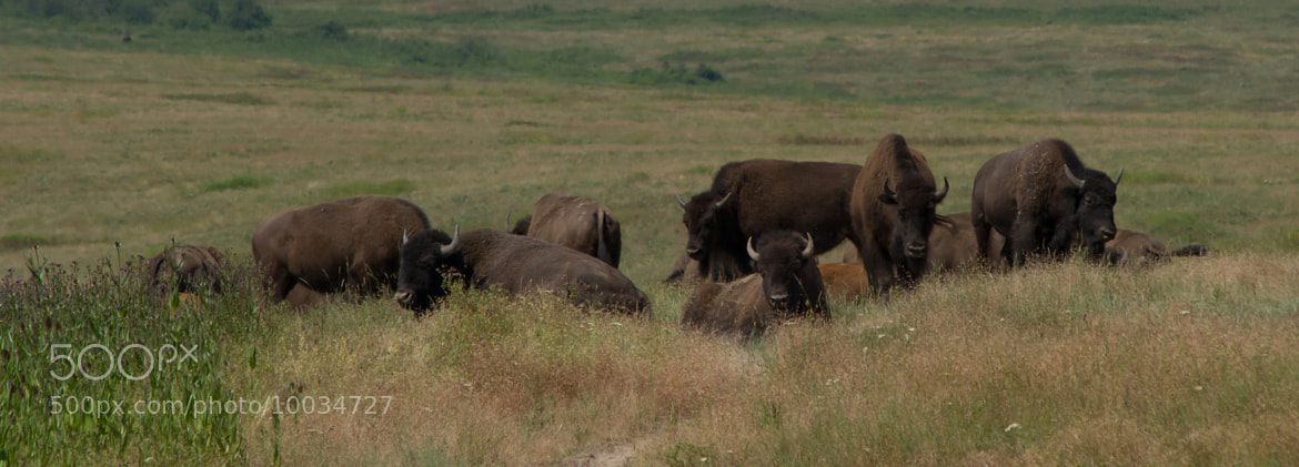 Photograph Bison Resting In The Late Morning by Eric Royse on 500px