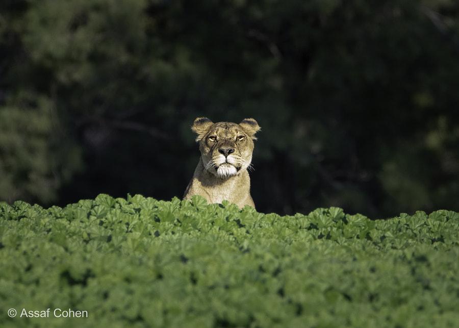 lioness by Assaf Cohen on 500px.com