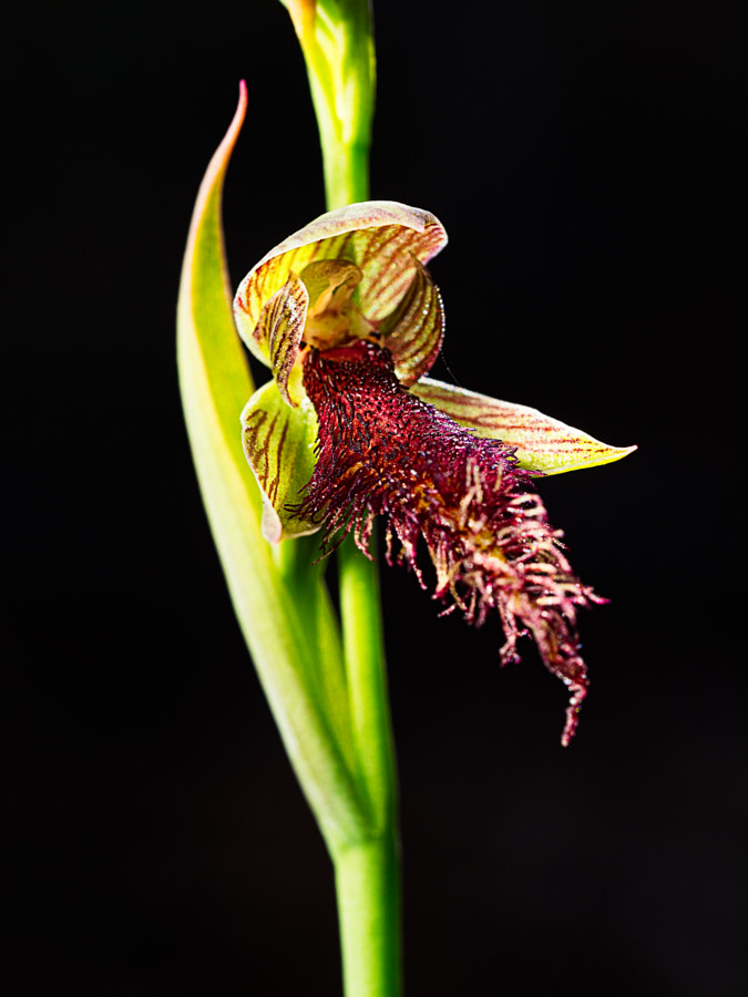 Wandoo Beard Orchid by Paul Amyes on 500px.com