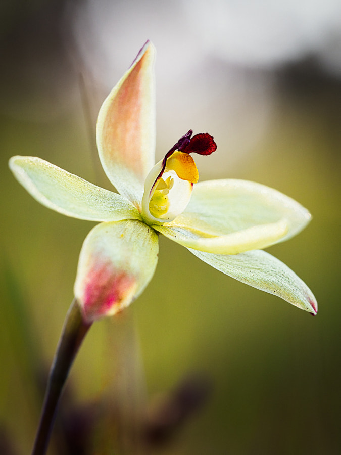 Lemon Scented Sun Orchid by Paul Amyes on 500px.com