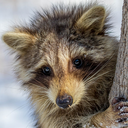 Very young raccoon