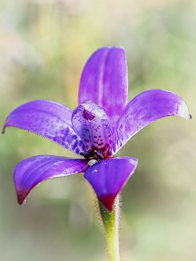Purple Enamel Orchid by Paul Amyes on 500px.com