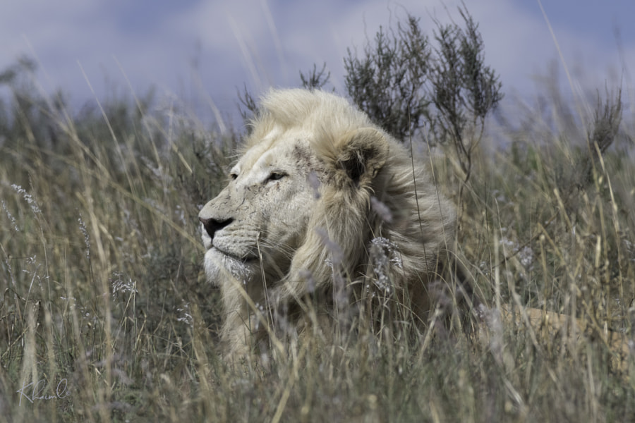 White Lion Majesty by Klaus Haiml on 500px.com