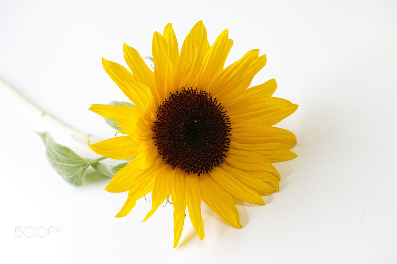 Photograph sunflower by sevenhalf  on 500px