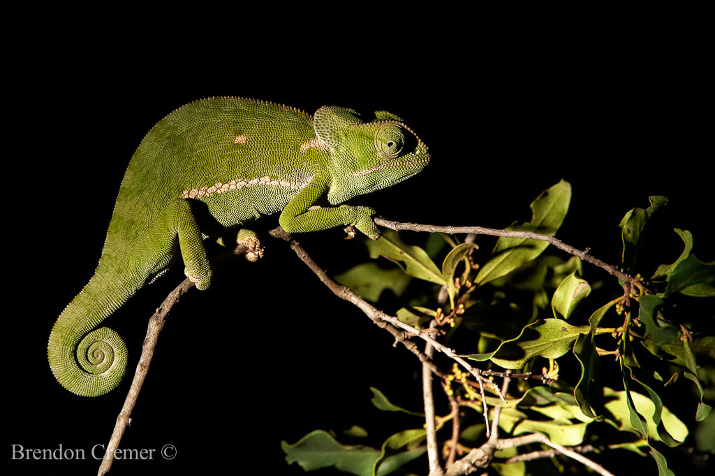 Photograph Flap Necked Chameleon by Brendon Cremer on 500px