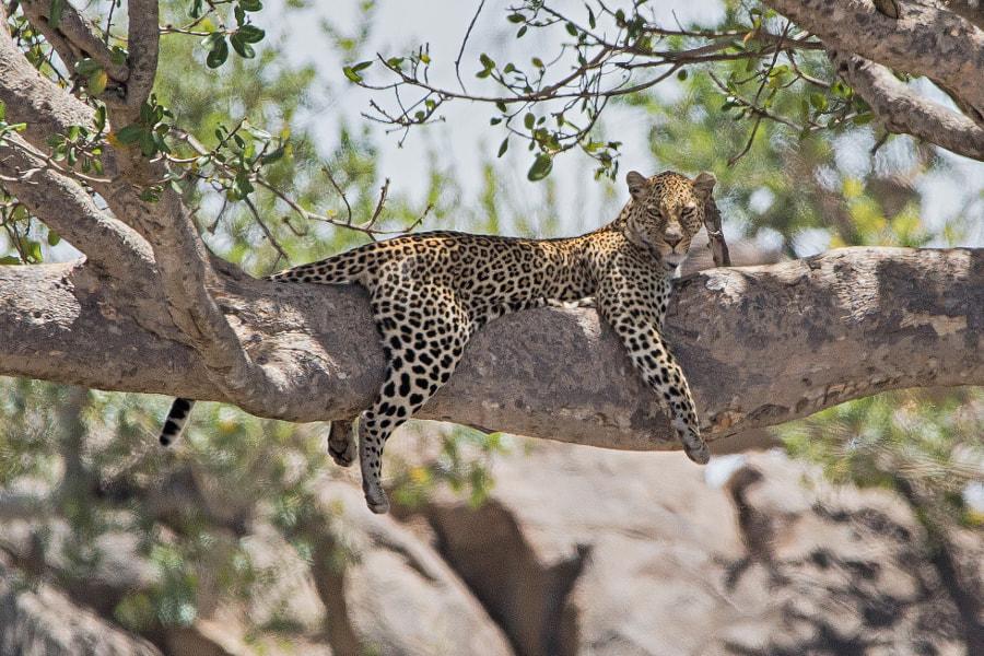 leopard by Jens Bernard on 500px.com
