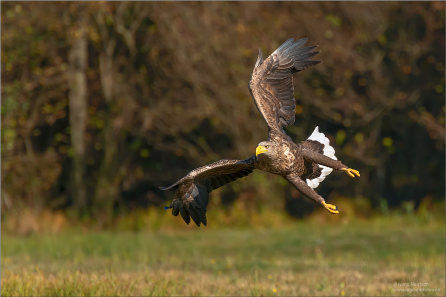 White-tailed Sea-eagle by Hans Rentsch on 500px.com