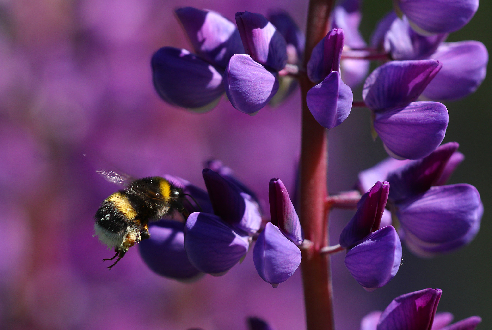 Photograph Bumblebee and Lupines by Marc Bulte on 500px
