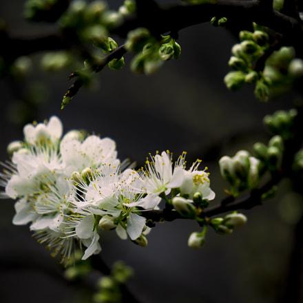Flower of Chinese Plum