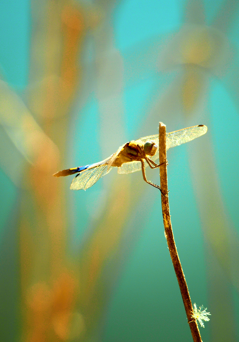 Photograph Dragonfly by Mirela Waterlander on 500px