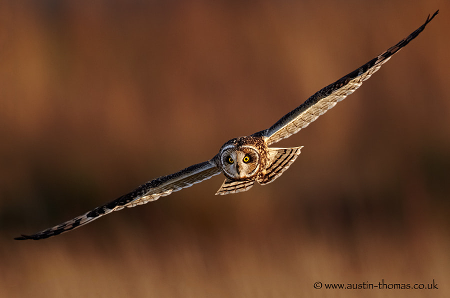 A Short Eared Owl in flight