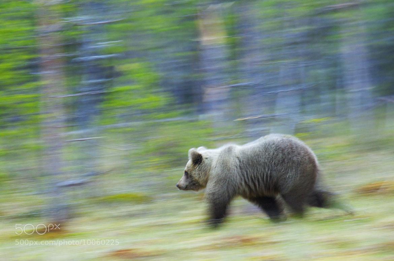 Photograph A midnight bear cub by Sylwia Domaradzka on 500px