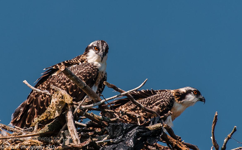 Photograph Osprey Chicks by Harold Begun on 500px