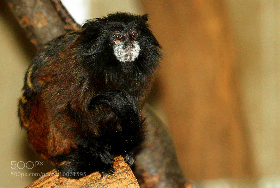 Photograph Saddleback tamarin  by Rainer Leiss on 500px