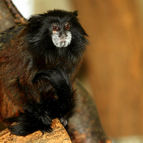 Saddleback tamarin  by Rainer Leiss (guspun)) on 500px.com